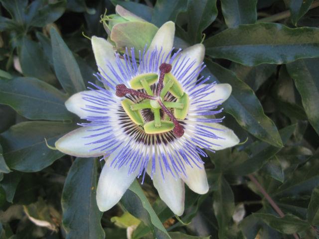 ahtopol flower