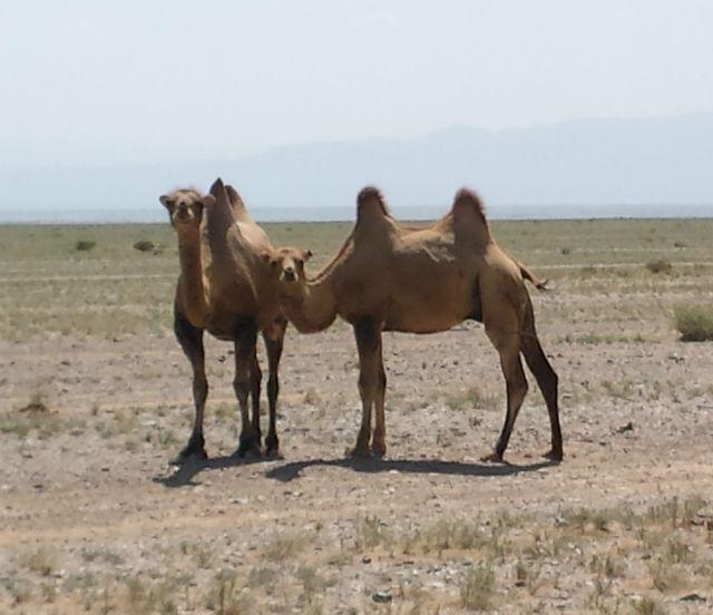 2 camels